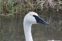Trumpeter Swan Cygnus buccinator Stock Image