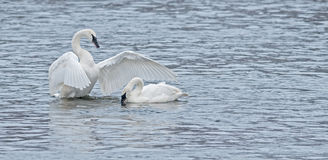 Trumpeter Swan Display for Another Stock Photography