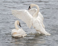 Trumpeter Swan Display with Splashes Stock Image