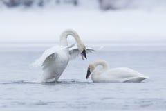 Trumpeter swan displaying dominance. During mating season royalty free stock image