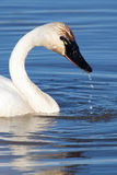 Trumpeter Swan Royalty Free Stock Images