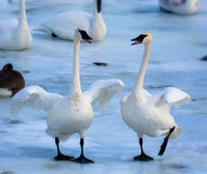 Trumpeter Swan Duo. Two trumpeter swans on the frozen Mississippi River Royalty Free Stock Photography