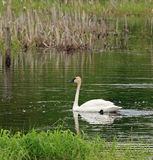 Trumpeter Swan Stock Photo