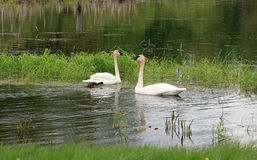 Trumpeter Swan Stock Photos
