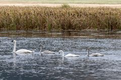 Trumpeter Swan Family swimming together in Wyoming stock photos