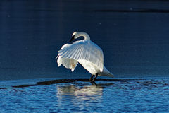 Trumpeter Swan Flapping. A Trumpeter Swan flaps it's wings while standing on the ice. These beautiful birds were once nearly wiped out in Iowa but can now be Stock Image