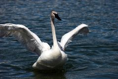 Trumpeter Swan Flapping Wings Stock Photos