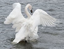 Trumpeter Swan Flaps Wings & Paddles Feet Stock Photography