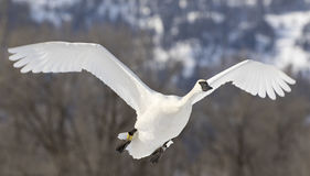 Trumpeter swan flies over pond in Jackson Hole Wyoming Stock Image