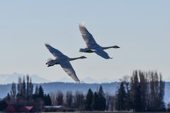 Trumpeter Swan in flight  over Skagit Valley, WA. Trumpeter Swan in flight against clear blue sky over Skagit Valley, WA Royalty Free Stock Photo
