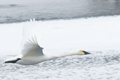 Trumpeter Swan in Flight Over Snowy River Royalty Free Stock Photography
