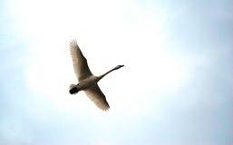 Trumpeter Swan in Flight royalty free stock photo