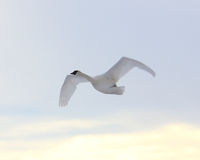 Trumpeter Swan flying. A single endangered Trumpeter Swan flying in an overcast sky Royalty Free Stock Photos