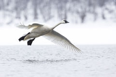 Trumpeter swan flying above river. Bank Royalty Free Stock Photography