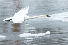 Trumpeter Swan Flying over Icy River Stock Images