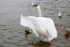 Trumpeter swan on frozen lake. Birds on frozen lake at winter. Trumpeter swan Stock Photos