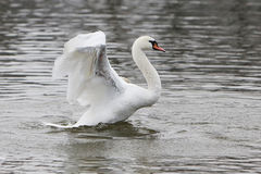 Trumpeter swan on frozen lake. Birds on frozen lake at winter. Trumpeter swan Stock Photography