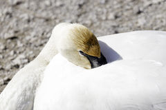 Trumpeter swan with head comfortably tucked into body ready for Stock Photos