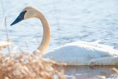 Trumpeter swan individual swimming -  taken during the early Spring migrations at the Crex Meadows Wildlife Area in Northern Wisco. Nsin royalty free stock photos