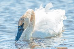 Trumpeter swan individual swimming -  taken during the early Spring migrations at the Crex Meadows Wildlife Area in Northern Wisco. Nsin stock images