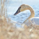 Trumpeter swan individual swimming -  taken during the early Spring migrations at the Crex Meadows Wildlife Area in Northern Wisco. Nsin royalty free stock images