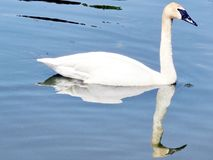 Thornhill trumpeter swan isolated 2016. Trumpeter swan isolated on the Oakbank Pond in Thornhill, Canada, May 21, 2016 stock photography