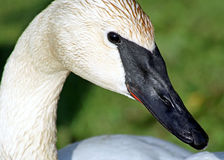 The Trumpeter Swan With Its Distinctive Black Beak Royalty Free Stock Photos