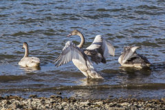 Trumpeter Swan juvenile Stock Images