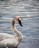 Trumpeter Swan in Lake on a Cloudy Day II. Trumpeter Swan shaking water from itself in a lake on a cloudy day Royalty Free Stock Photography