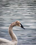 Trumpeter Swan in Lake on a Cloudy Day. Trumpeter Swan feeding in a lake on a cloudy day with water dribbling from its beak Royalty Free Stock Images