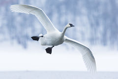 Trumpeter swan landing on water stock photography