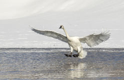 Trumpeter swan lands in pond in Jackson Hole Wyoming Stock Image