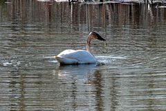 A Trumpeter Swan Stock Image