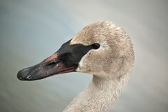 Trumpeter Swan with Muddy Beak Royalty Free Stock Photos