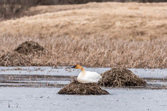 Trumpeter Swan on a Nest royalty free stock photo
