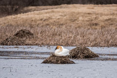 Trumpeter Swan on a Nest Royalty Free Stock Image