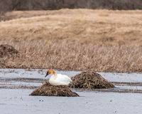 Trumpeter Swan on a Nest Stock Photo