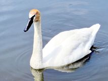 Thornhill the trumpeter swan 2016. The trumpeter swan on the Oakbank Pond in Thornhill, Canada, May 21, 2016 Stock Photography