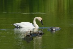 Trumpeter Swan And Painted Turtles On Pond Royalty Free Stock Image