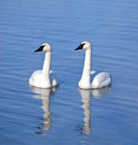 Trumpeter swan pair with reflection Royalty Free Stock Photo