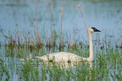 A trumpeter swan parent on a beautiful sunny spring  day - with their cute baby cygnets - taken in the Crex Meadows Wildlife Area. In Northern Wisconsin royalty free stock photo