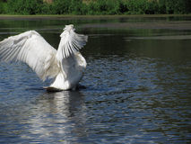 Trumpeter Swan Photo 2. An adult Trumpeter Swan spreads its wings Stock Photo