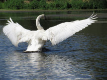 Trumpeter Swan Photo 3 Royalty Free Stock Image