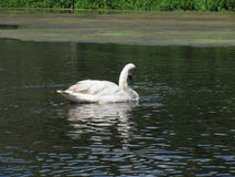 Trumpeter Swan Photo 9 Royalty Free Stock Images