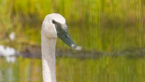 Trumpeter swan portrait with detail of beautiful plumage, eye, and beak - at the end of summer - taken in the Crex Meadows Wildlif. E Area in Northern Wisconsin royalty free stock photo