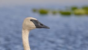 Trumpeter swan portrait with detail of beautiful plumage, eye, and beak - at the end of summer - taken in the Crex Meadows Wildlif. E Area in Northern Wisconsin royalty free stock photography