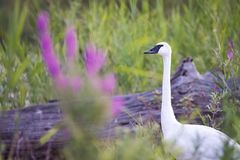 Trumpeter Swan With Purple Flowers. A Trumpeter Swan poses with some pretty purple flowers at Toronto`s Tommy Thompson Park Stock Photos