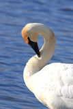 Trumpeter Swan Preening. Close-up of an Endangered Trumpeter Swan (Cygnus buccinator) preening near open water on a sunny winter day in Wisconsin Royalty Free Stock Photography