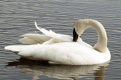 Trumpeter Swan Preening Her Feathers Royalty Free Stock Image