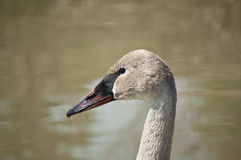 Trumpeter Swan Profile Royalty Free Stock Image